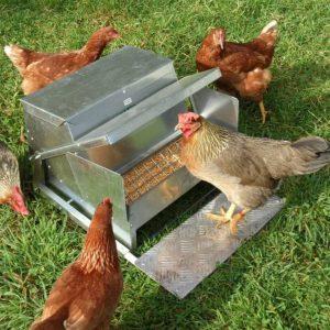 chickens feeding on a grandpas treadle feeder