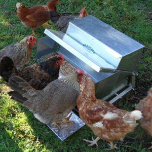a grandpas chicken feeder with hens feeding